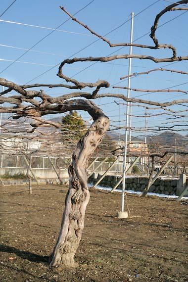 Katsunuma_wine_vine