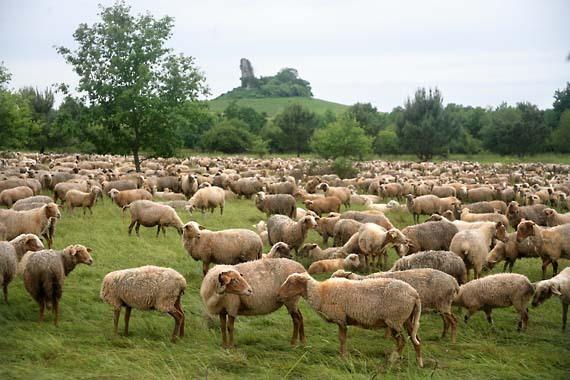 1st_emilion_moutons