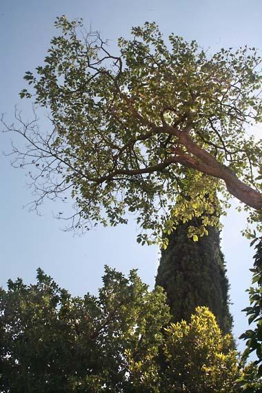 1lafran_cypres_arbre