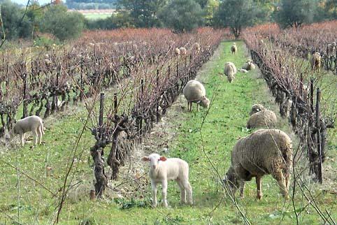 Provence_vignes_moutons